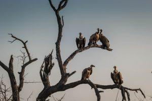 Vultures Venture Back