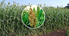 Sweet Sorghum –The Wonder Crop