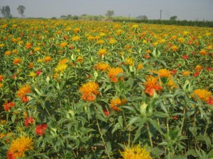 Hybrid Safflower revolutionizes Farmers income