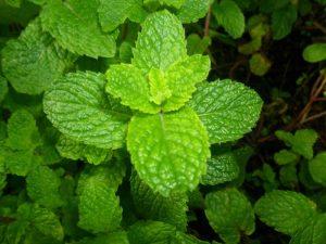 Health Benefits of Mint water