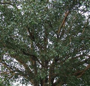 Health benefits of Peepal Tree
