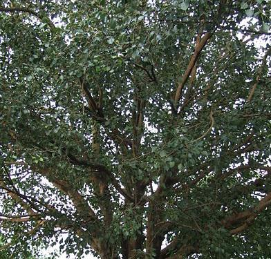 Health benefits of Peepal Tree
