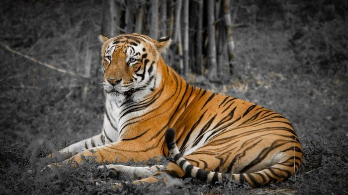 India's second oldest tiger passed away