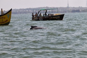 Dolphin viewing off the Sinquerim Beach