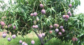 Order mango trees from WhatsApp