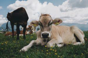 Soon, cows get Aadhar like IDs