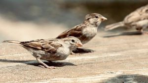 Sparrows dying out due to humans?