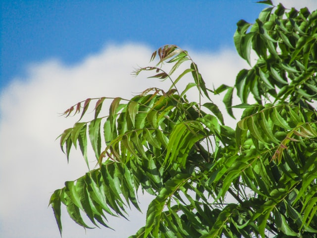 Cancer cure from neem?