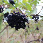 Health benefits of Pineberries