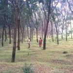 Scientists develop dual purpose rubber trees
