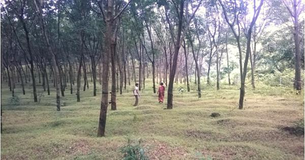 Scientists develop dual purpose rubber trees
