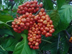 Health Benefits of Guarana seeds