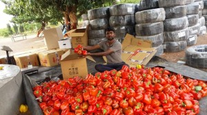 Man earns ₹13 lakh by growing capsicum