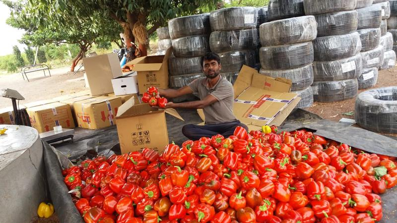 Man earns ₹13 lakh by growing capsicum
