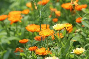 Health Benefits of Calendula