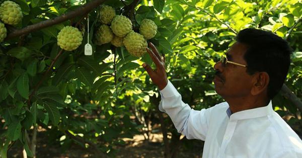 Farmer develops custard apple with more pulp