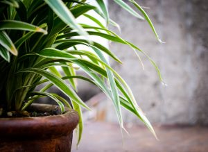 Lucky plants to keep at your home or office