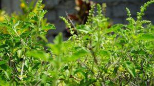 Kitchen herbs to boost immunity