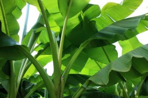 Significance of banana tree and leaves in Hindu culture