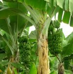 Benefits of Planting banana tree at your home