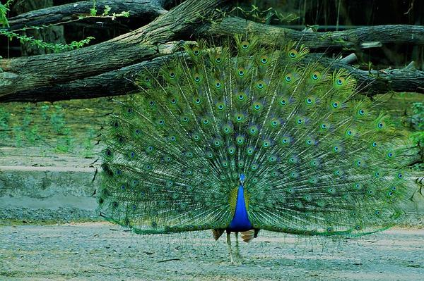 Reasons for choosing peacock as national bird