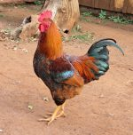 Rooster led to accidental death was under Police protection