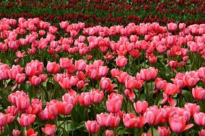Best Tulip gardens to see in India