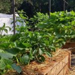 Waste turns into fertilizer to grow organic veggies