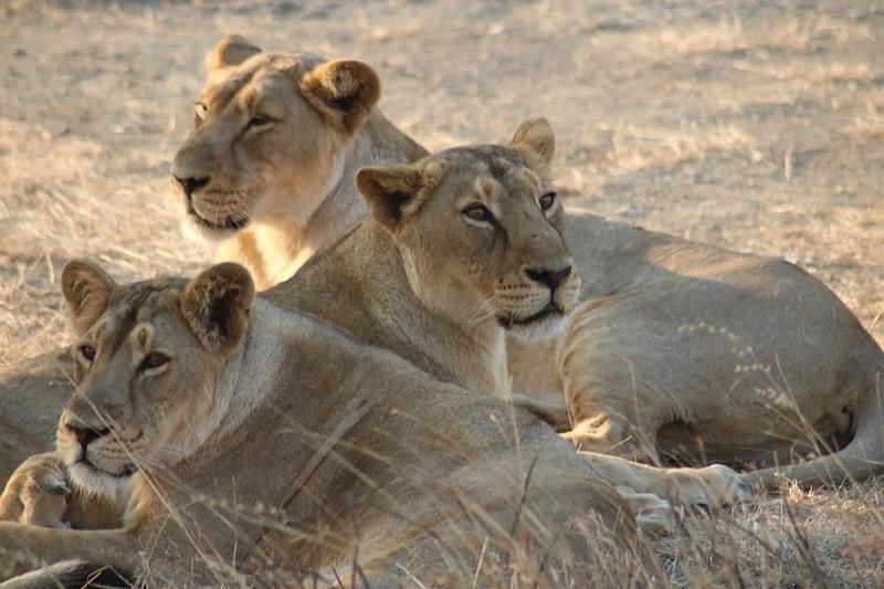 Asiatic lions test COVID-19 positive