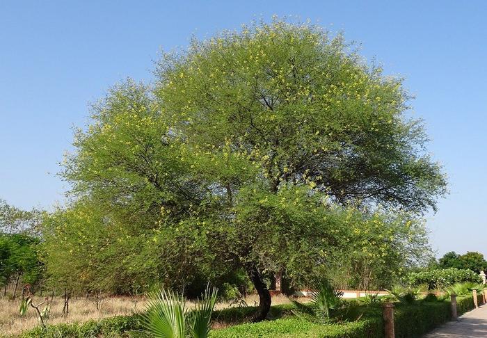 Medicinal uses of Babool