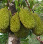 Health Benefits of jackfruit powder