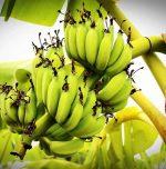 Health Benefits of green banana flour